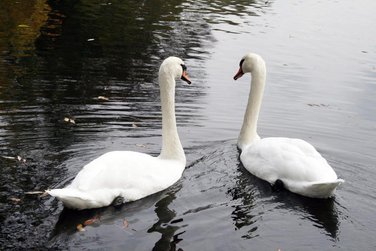 zwei Schwäne schwimmen gemeinsam auf dem Wasser